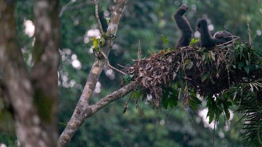 Who Has the 'Cleaner' Bed: Chimps or Humans?