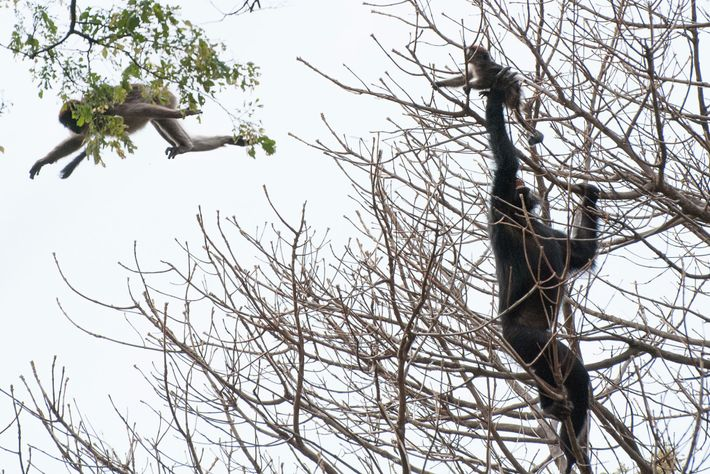 A chimpanzee captures a young red colobus monkey during a hunt.