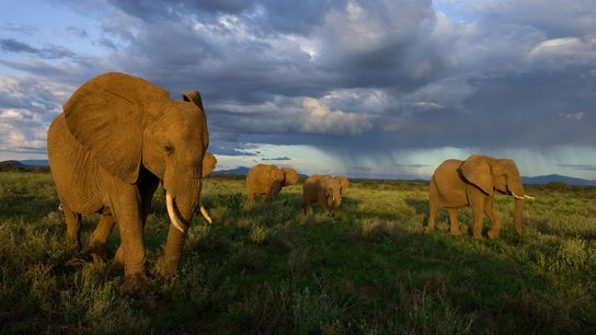 African elephant numbers have plummeted by 30 percent from 2007 to 2014, in large part because ...