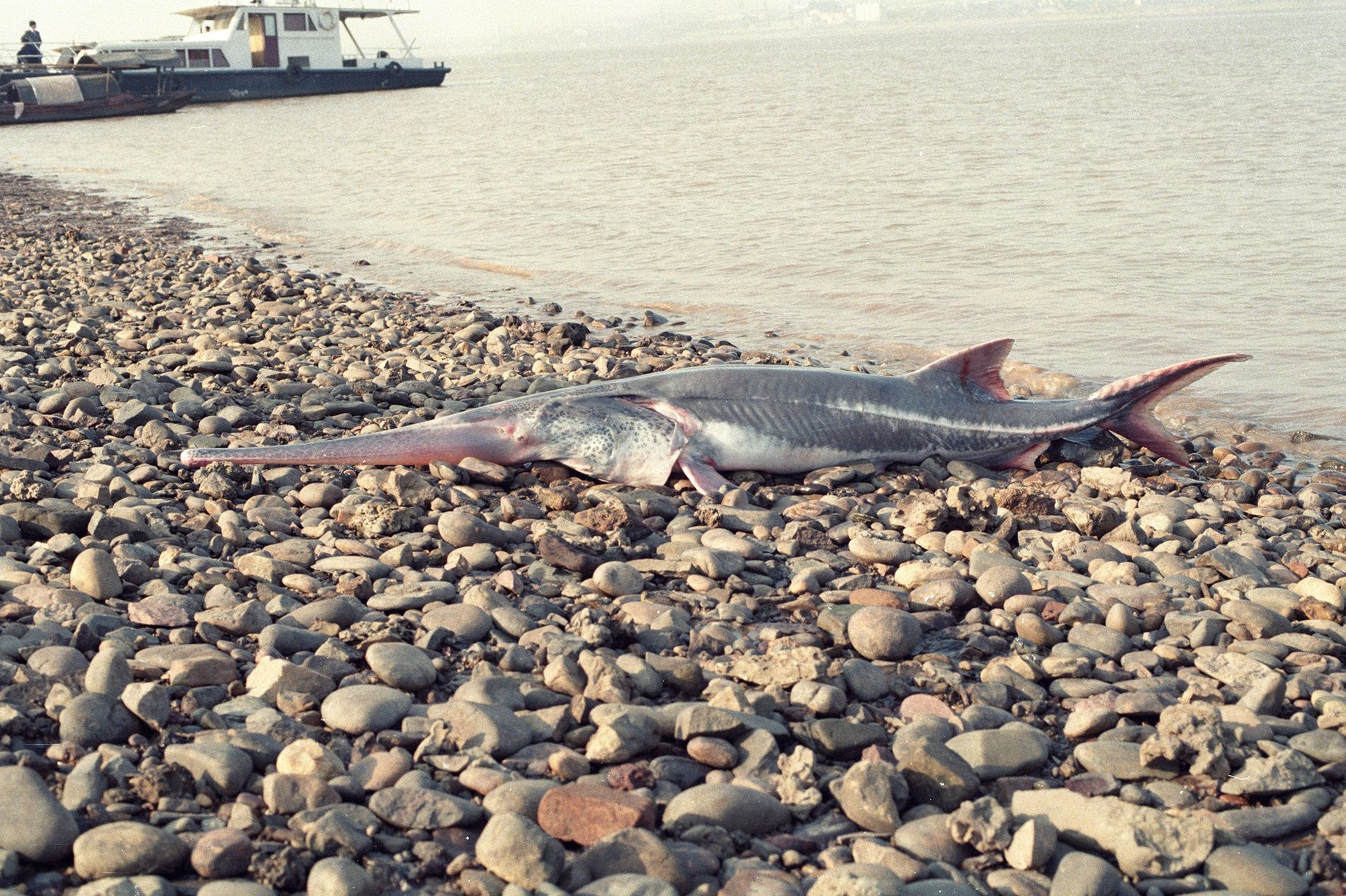The last Chinese paddlefish (Psephurus gladius) was seen alive in 2003, and they've been declared extinct. ...
