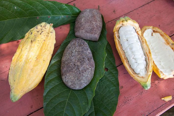 Evidence shows that ancient people in the Amazon basin were processing and enjoying cacao 1,700 years ...