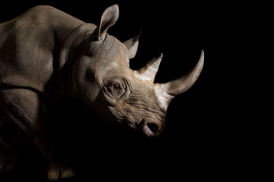 A female eastern black rhino (Diceros bicornis michaeli) named Imara, at Great Plains Zoo in South ...