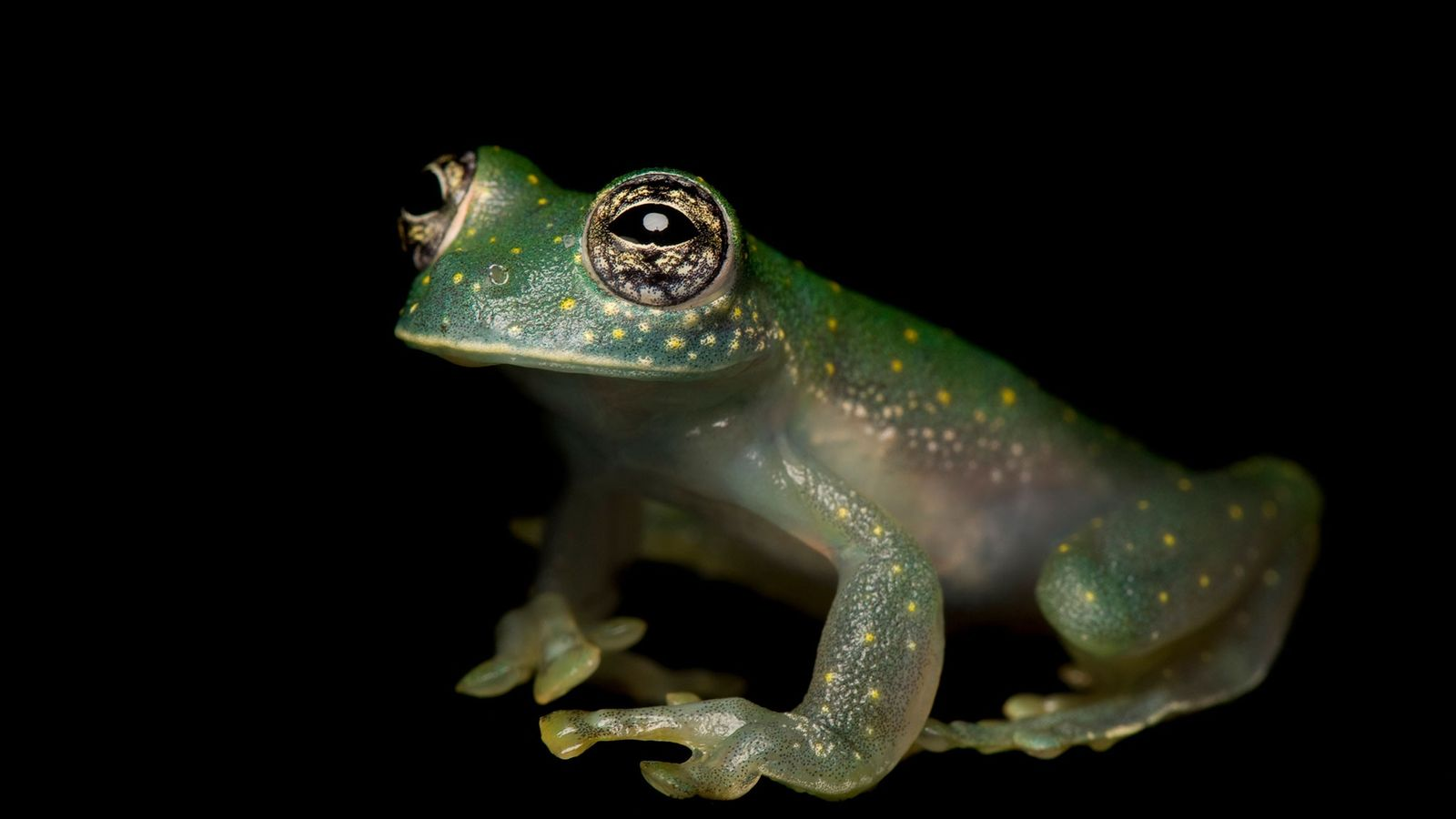 Glass frogs were among the more than 500 species considered for protections at this year's CITES ...