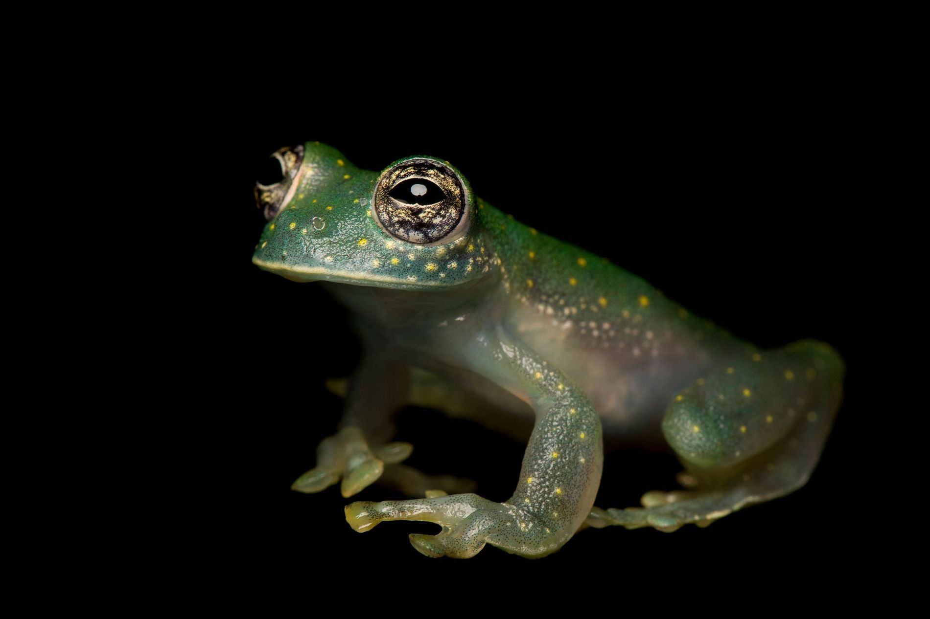 Glass frogs were among the more than 500 species considered for protections at this year's CITES international wildlife trade meeting in Geneva.