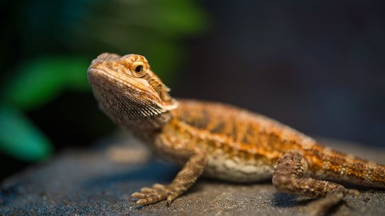 Bearded dragons that incubated at warmer temperatures are slower learners as adults.