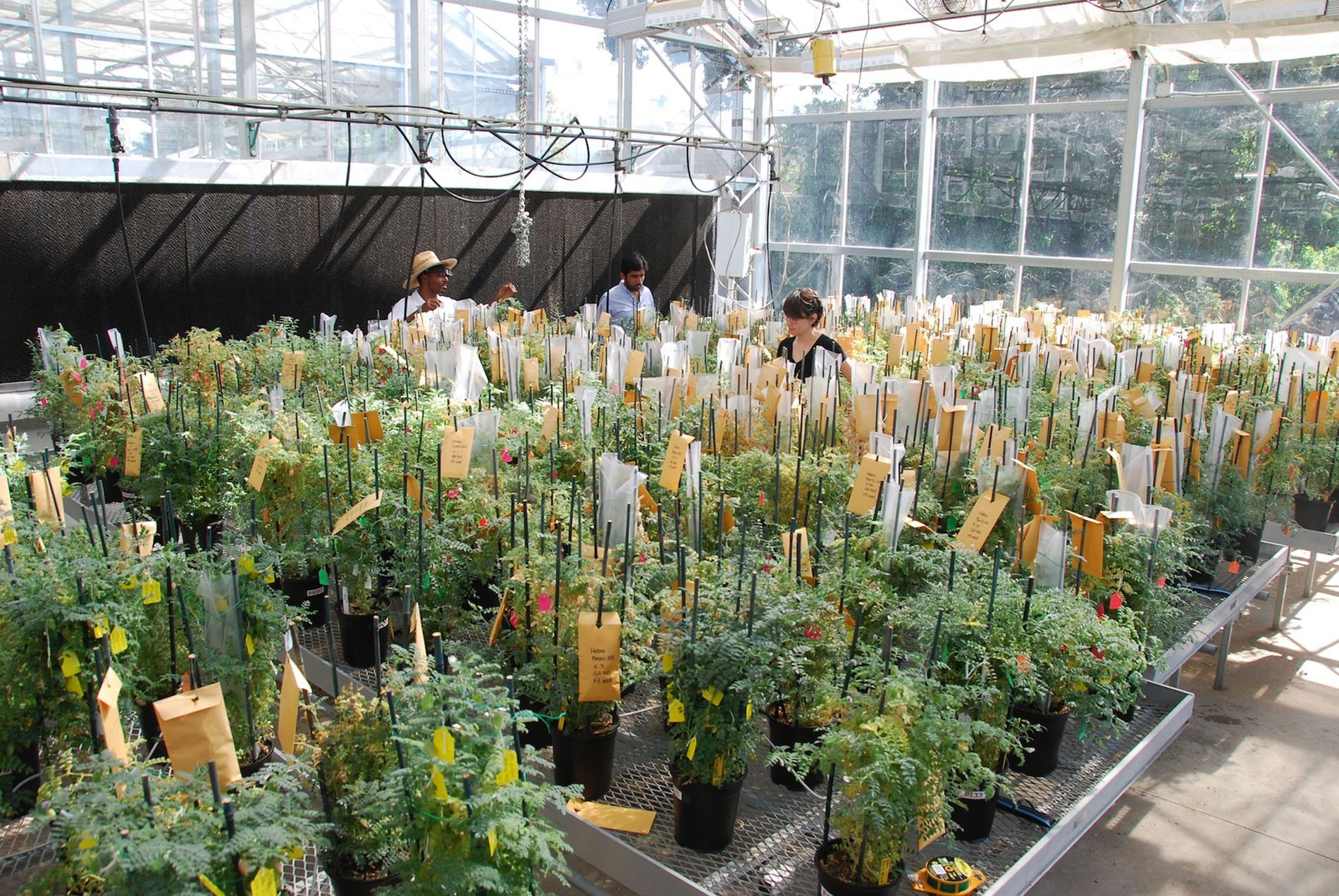 Chickpea pre-breeding in action at the University of California, Davis. Pre-breeding is the process of crossing ...