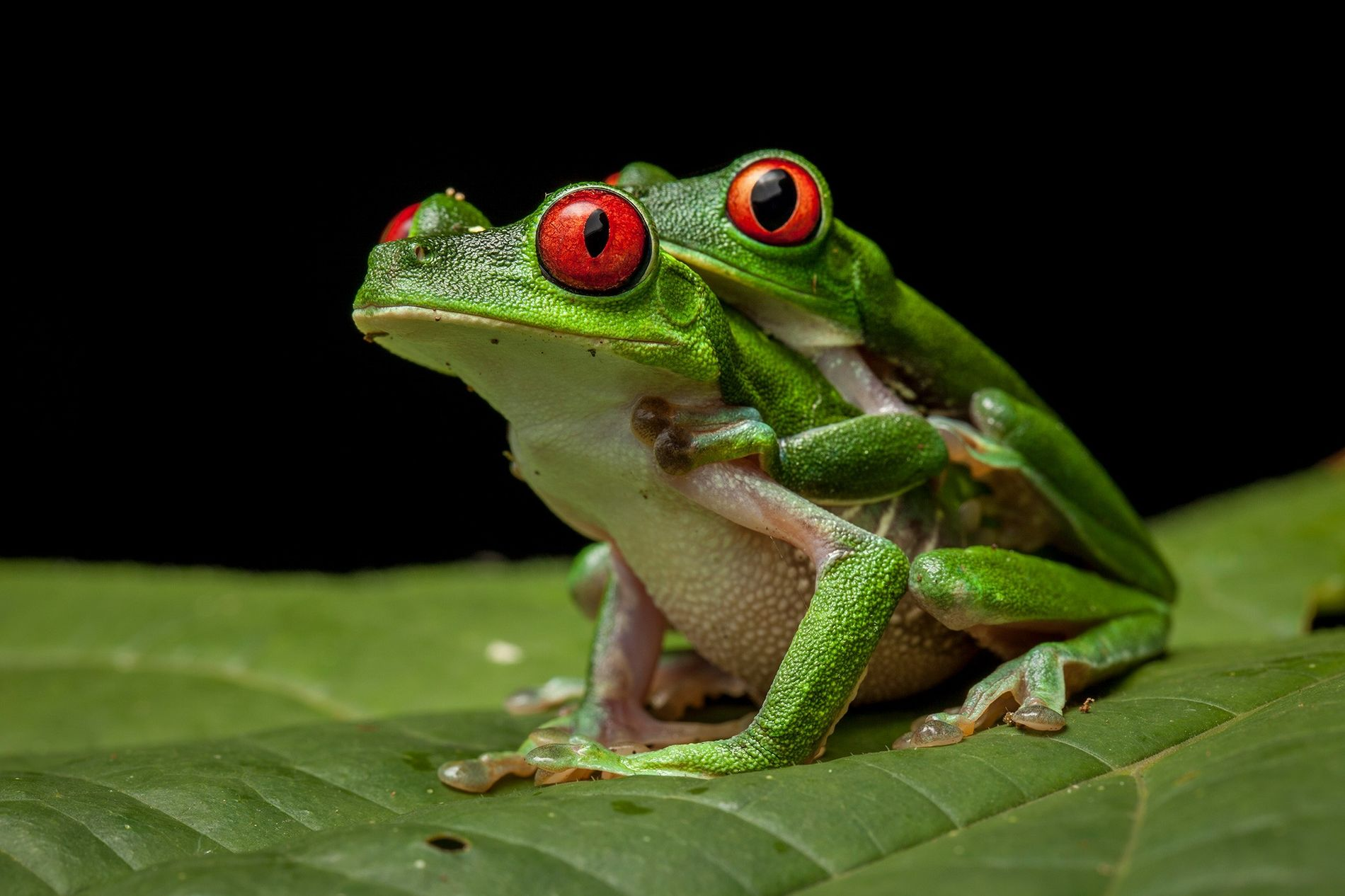For many frogs, the ultimate romantic gesture is a long hug known as amplexus. Shown here ...