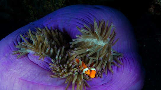 The clownfish's sensitivity to light pollution is articulating in a reduced birthrate.
