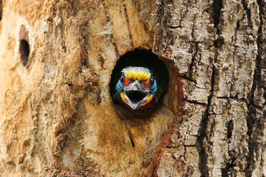 Black-browed Barbet. Kaohsiung, Taiwan
