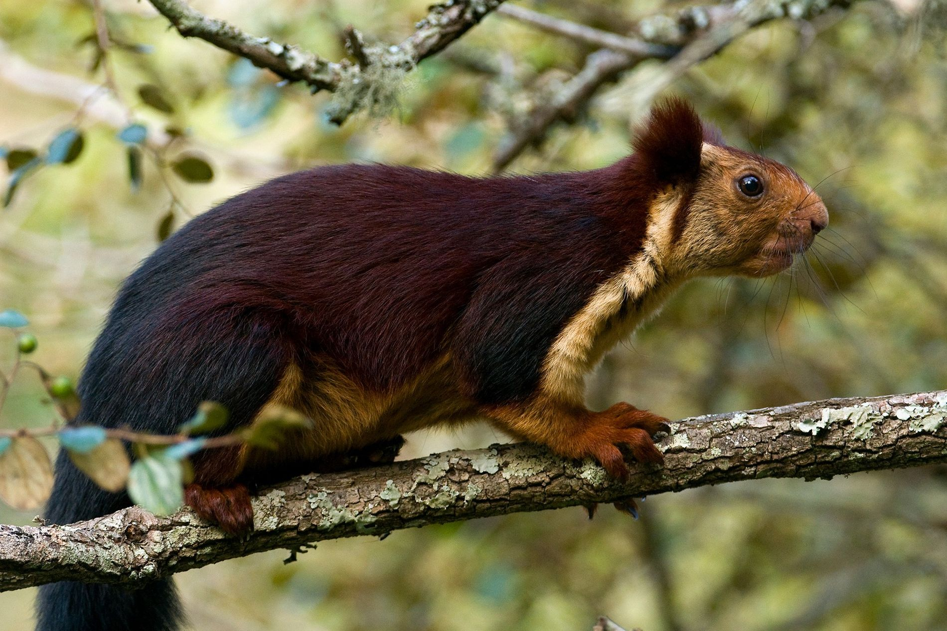 The Indian giant squirrel (pictured, an animal in Karnataka, India), can reach lengths of 18 inches.