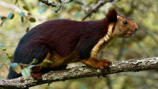 Giant purple squirrels do exist—and they have an odd behaviour