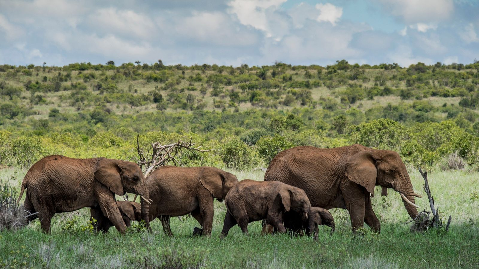 Elephants are a draw for tourists visiting the safari camp at Loisaba Conservancy, a protected area ...