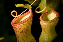 Pitcher plants in the genus 'Nepenthes' are carnivorous, and have an interesting symbiotic relationship with crab ...