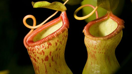 These spiders feed their leftovers to carnivorous plants