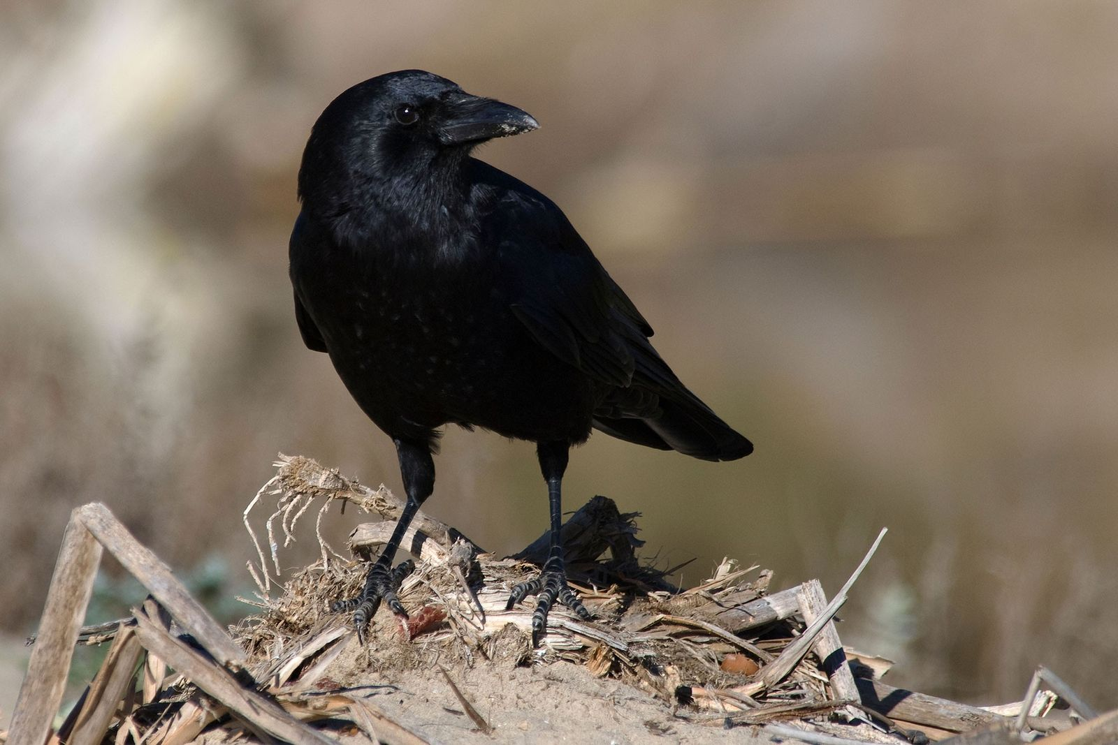 The American crow (Corvus brachyrhynchos) has become a common sight in urban and suburban areas across ...