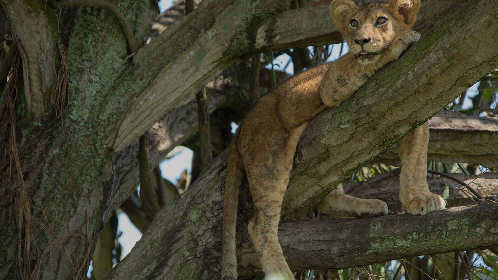 This cub is one of eight that died this week in Uganda's Queen Elizabeth National Park, ...