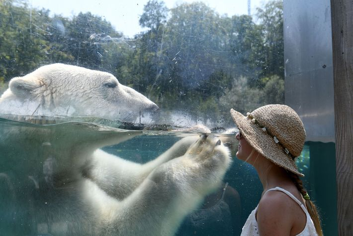 A visitor views a polar bear at a zoo in France from behind glass. At many ...