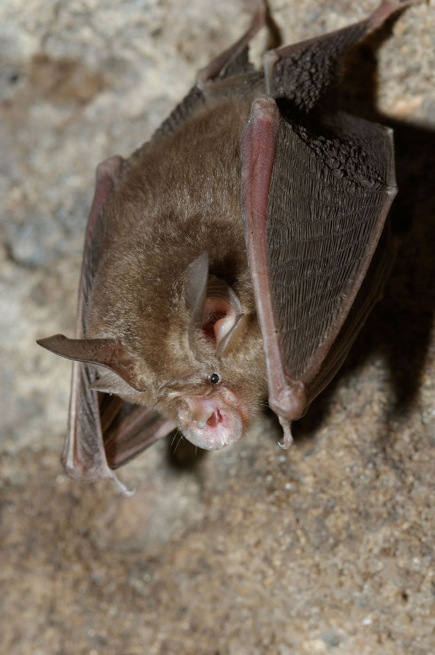Throughout most of its range, the Blyth's horseshoe bat—named for the shape of its nose—hunts flying ...