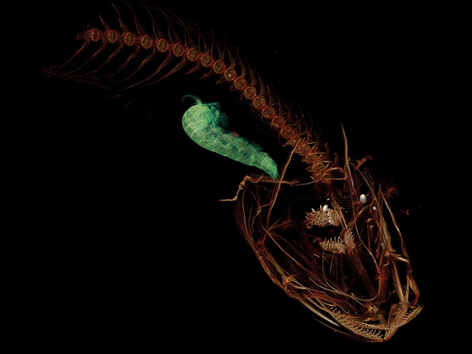 This CT imagery reveals the skeleton of a snailfish that is now the deepest living species ...