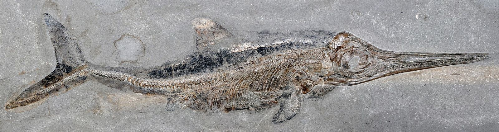 Germany's Holzmaden shale quarries have yielded many 180-million-year-old marine fossils, including thousands of dolphin-like reptiles called ...