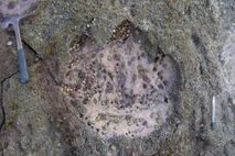 A newfound site on Scotland's Isle of Skye contains about 50 dinosaur footprints, many belonging to ...