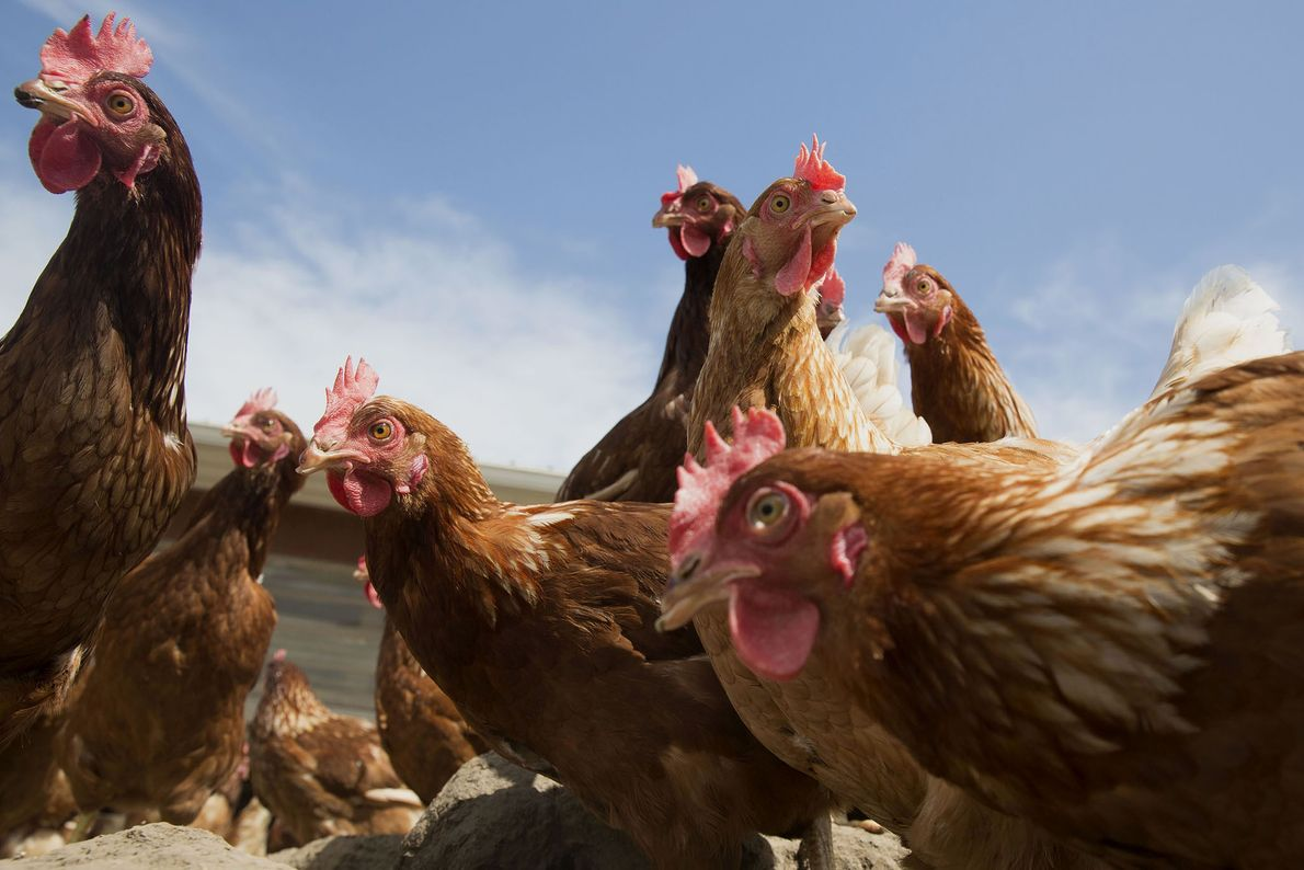 Lohmann Brown chickens stand outside a barn at Meadow Haven Farmin Sheffield, Illinois. The only birds ...