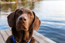 A chocolate lab sits attentively on a dock in central Maine. Dogs are very perceptive of ...