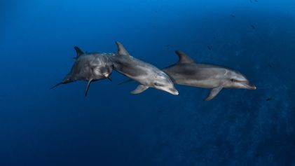 Dolphins learn to use tools from peers, just like great apes