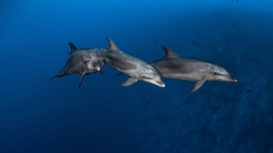 Bottlenose dolphins hunt in French Polynesia's Rangiroa Channel. The marine mammals use two types of tools ...