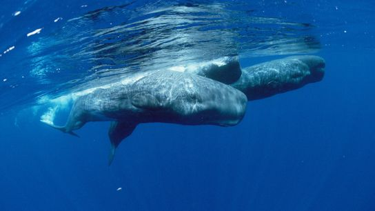 Sperm whales are known to dive as deep as 3,280 feet in search of squid, holding ...