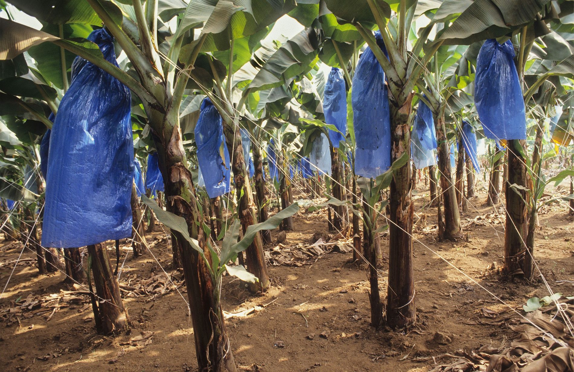 Plastic is used all throughout food production. Here, bananas growing on a plantation in Cameroon are ...