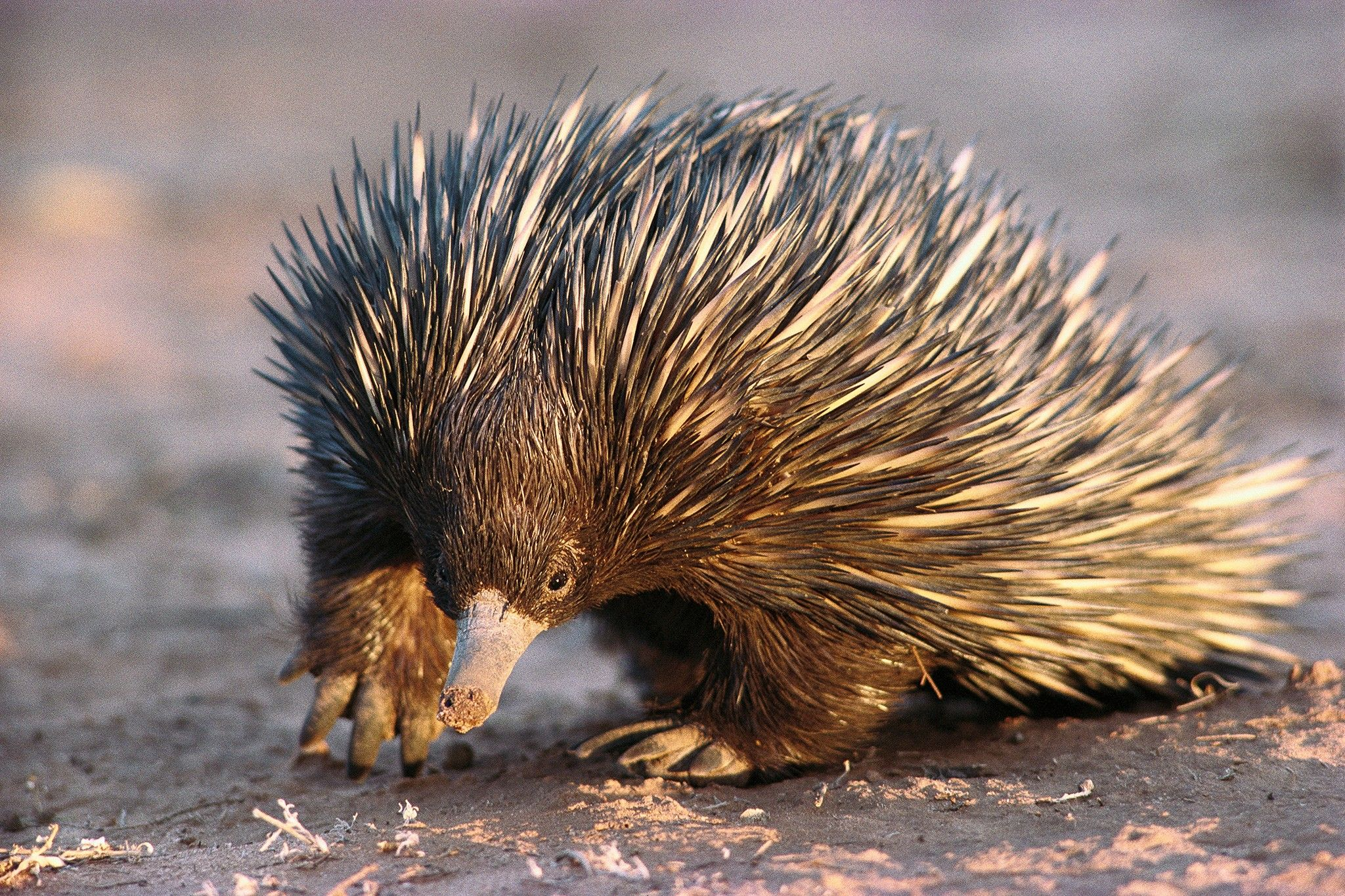 There's no way these cute, spiny creatures are all sold legally | National Geographic
