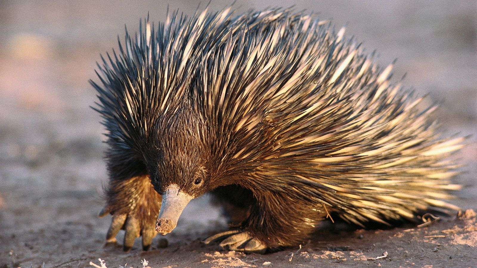 Short-beaked echidnas, found in Australia and New Guinea, are very difficult to breed in captivity. As ...