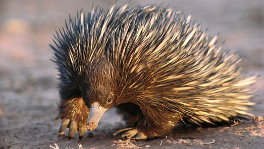 There's no way these cute, spiny creatures are all sold legally