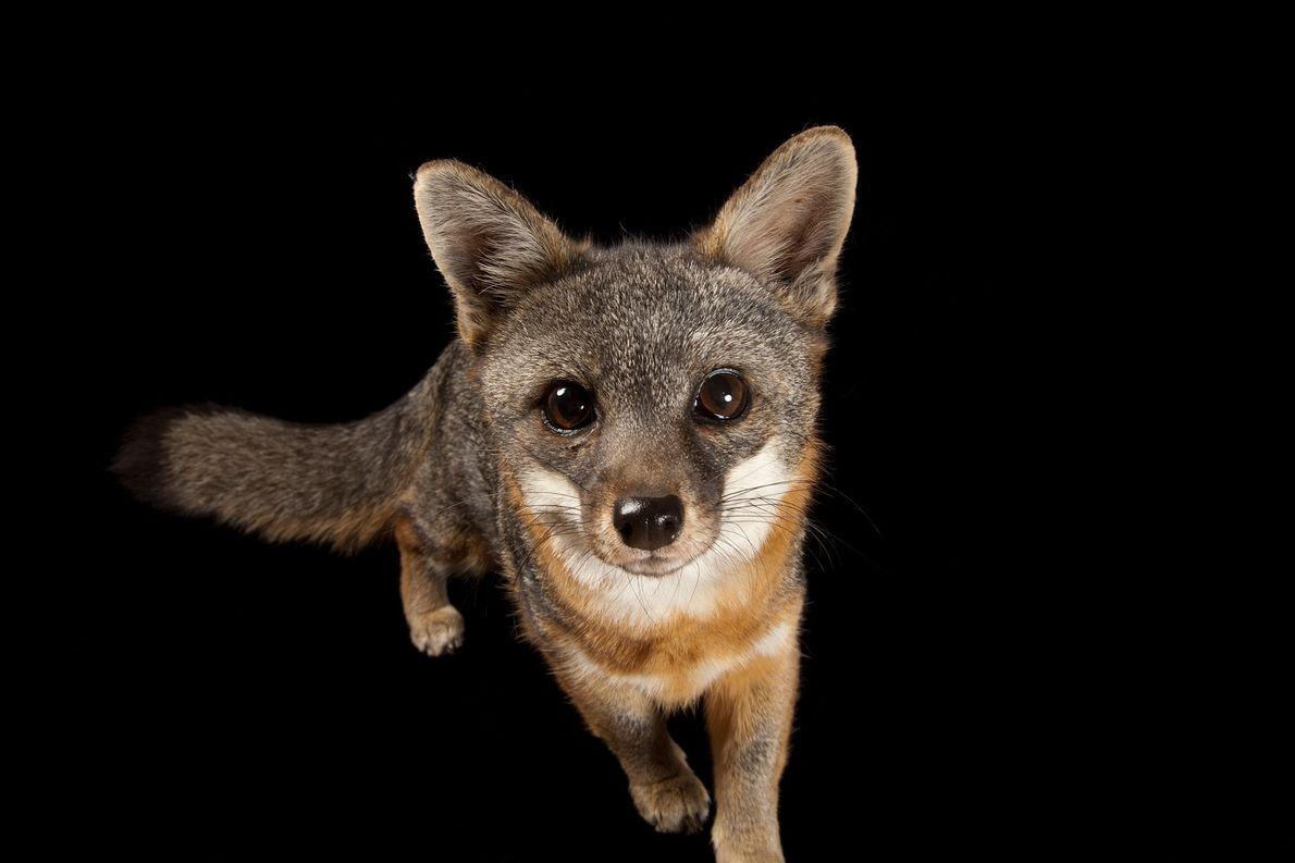 A rare Santa Catalina Island fox, Urocyon littoralis catalinae, at Catalina Island Conservancy.