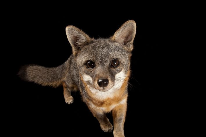 A rare Santa Catalina Island fox, Urocyon littoralis catalinae, at Catalina Island Conservancy.