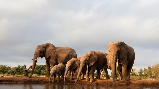 It seems that many of the recently killed elephants recently had been targeted by poachers as ...