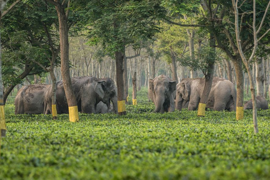 Elephants use tea gardens as landmarks for navigating forests, and pregnant females use them as safe ...