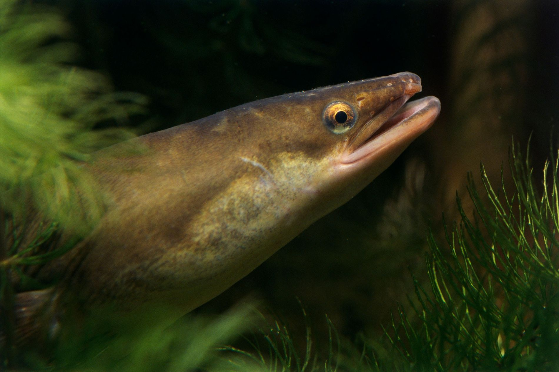 European eels are highly endangered in the wild, and water pollution—including illegal drugs—is part of the ...