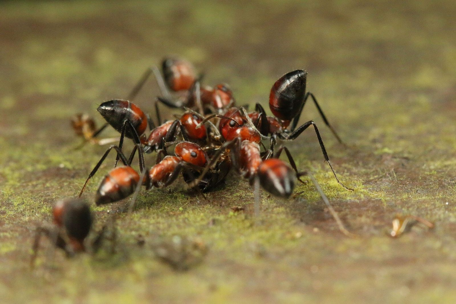 'Exploding Ant' Rips Itself Apart To Protect Its Own