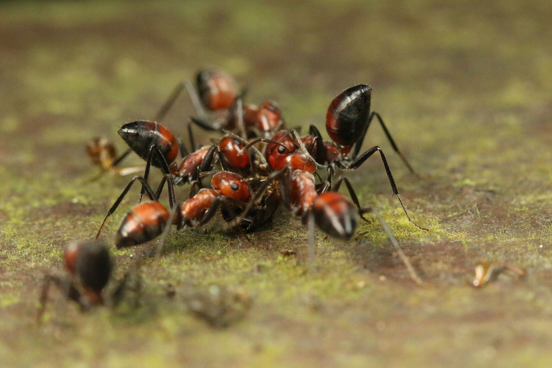 The ant lacks large mandibles, cannot sting, and generally seems like easy pickings for any predator—until ...