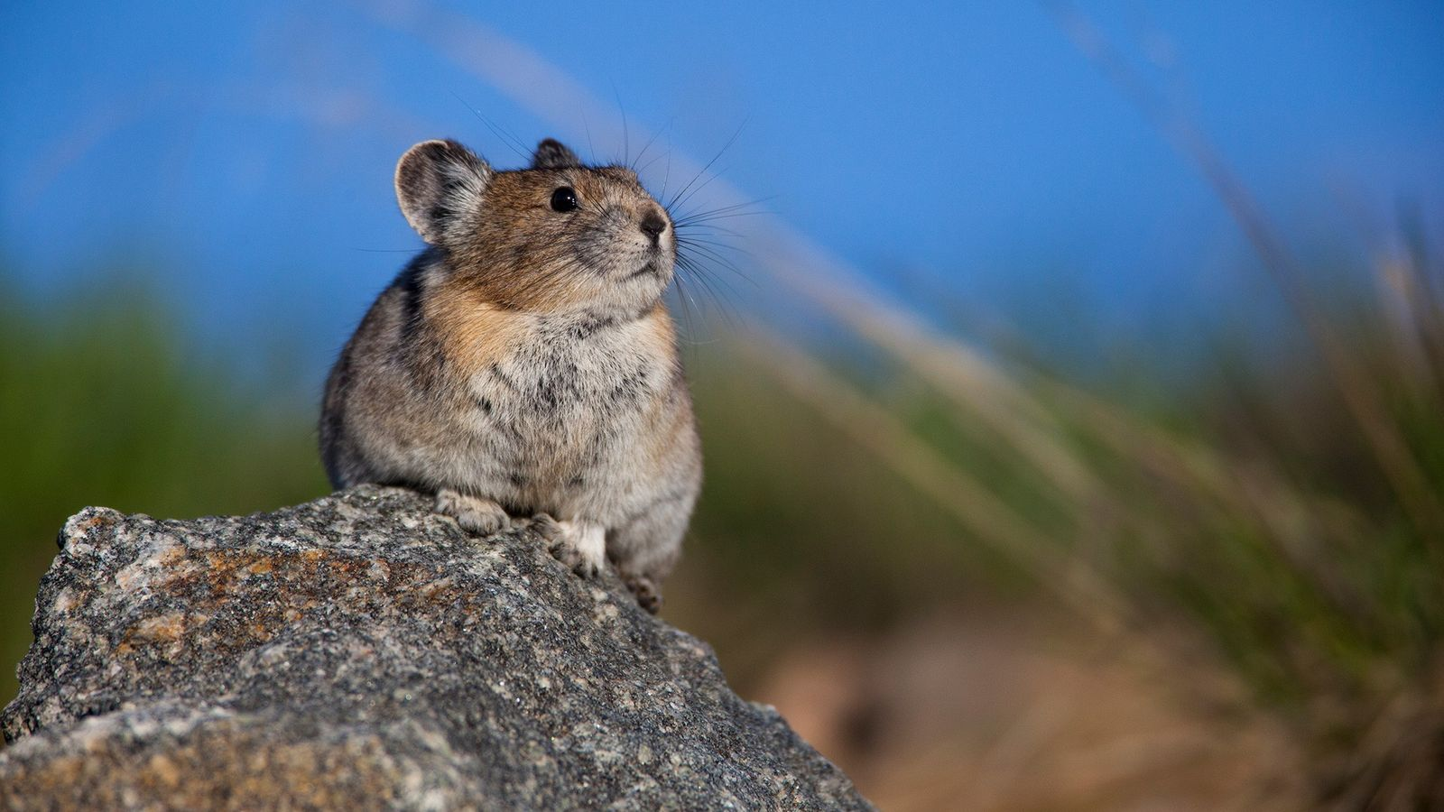 The American pika (pictured, an animal in Wyoming's Greater Yellowstone Ecosystem) is being forced northward as ...