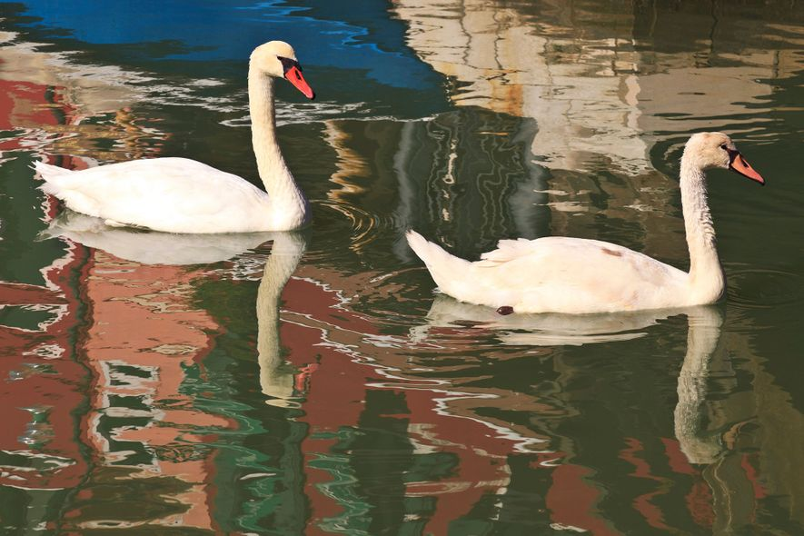 Swans are regular visitors to the canals of Burano.