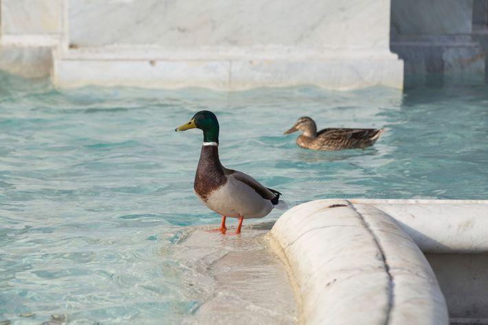 Mallard ducks swim in Rome's Fontana dell'Acqua Paola on March 29. Social media posts celebrated the ...