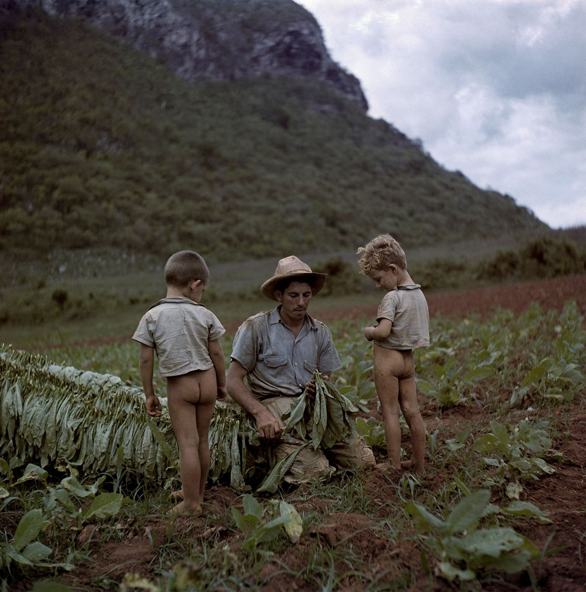 Two boys watch their father cut and tie tobacco leaves in a field near Viñales, Cuba, ...