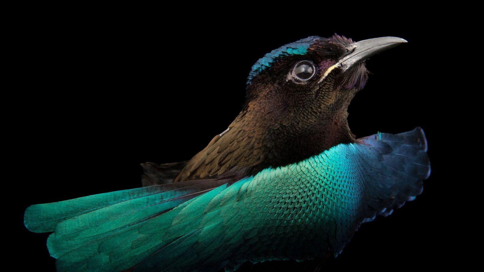 A superb bird-of-paradise, Lophorina superba.