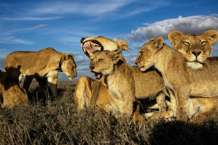 Lions are the only cats that live in groups, which are dominated by females. Older cubs ...