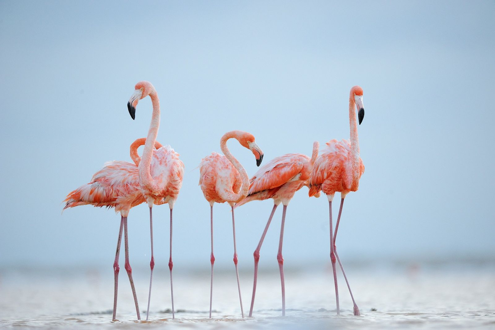 Like humans, flamingos make friends for life