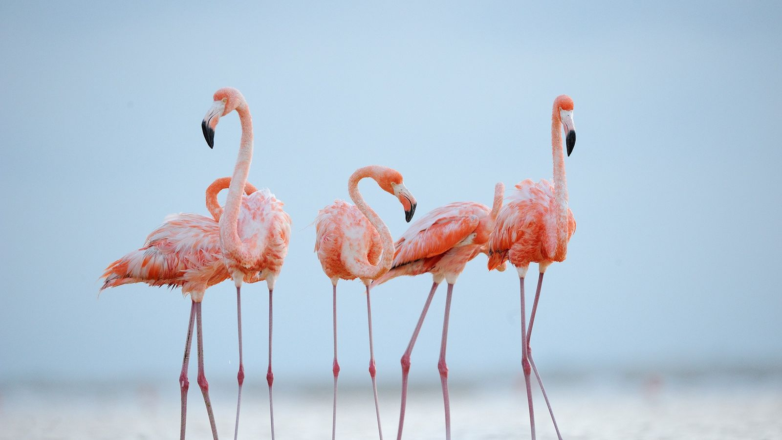 Caribbean flamingos preen in the evening light. The birds can live up to 50 years.