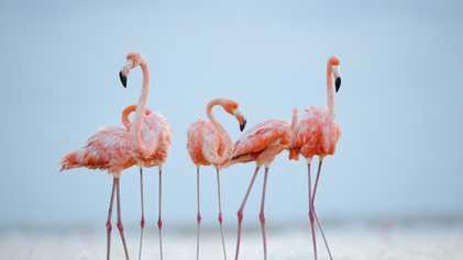 Like humans, flamingos make friends for life